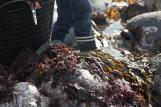 Seaweed@Lizard2_web